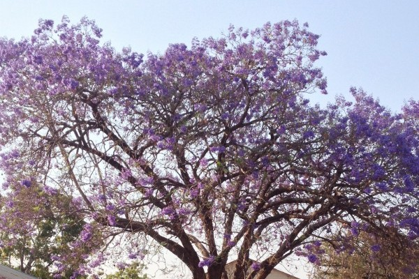 It's jacaranda season! The purple trees remind us of a Dr. Seuss book. At the end of the day, the hospital court yard clears out only until the next morning where it's again buzzing with patients, family members, and staff.