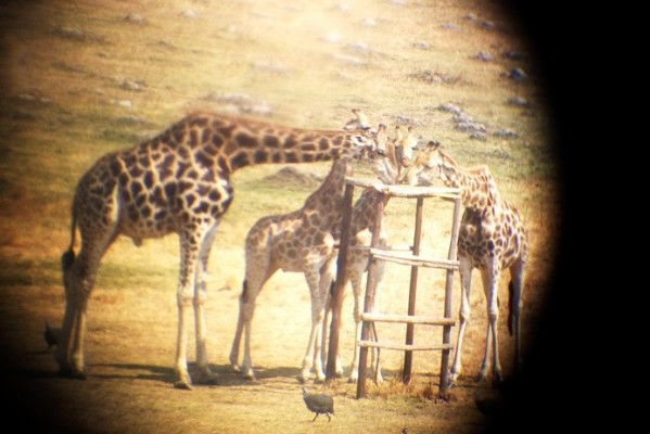 I see you through my binoculars. Meet Gary and Janet and their baby. Zimbabwe is known worldwide for its safaris and game parks. There's no animal quite as amazing (aka awkward) as the giraffe. It's our favorite and decorates much of our house.