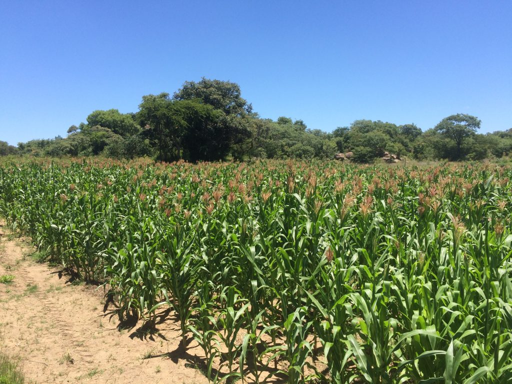 From this 2.5 acre field, the team was able to harvest six tons of maize that will help feed the orphans at Hands of Hope.